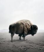 Alice Zilberberg: Be Here Bison
