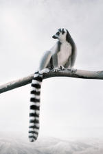 Alice Zilberberg: Laid-Back Lemur, 2020