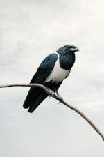 Alice Zilberberg: Present Pied Crow, 2020
