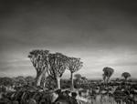 Beth Moon: Quiver Tree Forest at Dusk