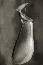 Beth Moon: Nepenthes Ventricosa