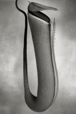 Beth Moon: Nepenthes Albomarginata