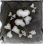 Bill Westheimer: Wilted Clover 1