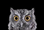 Brad Wilson: Western Screech Owl #1, Espanola, NM, 2011