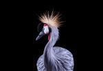 Brad Wilson: African Crowned Crane #1, Los Angeles, CA, 2011