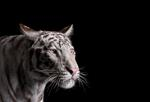 Brad Wilson: White Tiger #1, Los Angeles, CA, 2011