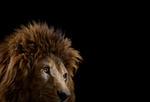 Brad Wilson: Lion #3,Los Angeles, CA, 2010