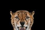 Brad Wilson: Cheetah #3, Los Angeles, CA, 2011