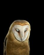 Brad Wilson: Barn Owl #3, St. Louis, MO , 2012