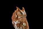 Brad Wilson: Eastern Screech Owl #2, St. Louis, MO, 2012