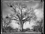 Elaine Ling: Baobab, Tree of Generations #14, 2009