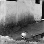 Hiroshi Watanabe: Cat, Lamu, Kenya, 1997