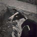 Hiroshi Watanabe: Dog, Nahargarh Fort, Jaipur, India, 2000