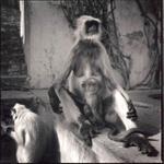 Hiroshi Watanabe: Monkeys, Amber Fort, Jaipur, India, 2000