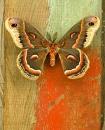 Jo Whaley: <i>Hyalophora cecropia</i>