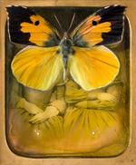Jo Whaley: <i>Colias eurydice</i>