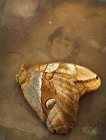 Jo Whaley: <i>Eryphanis polyxena</i>