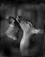 Keith Carter: Two Deer Study #2