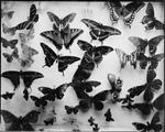 Keith Carter: Butterfly Collection #3, 2013