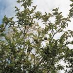 Kevin Kunishi: Range Tree, La Fundadora, 2010