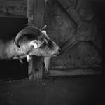 Meg Birnbaum: Goat 19, 2007