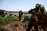 Michele Palazzi & Alessandro Penso:  Migrant Workers During the Tomato Harvest, Basilicata, Italy