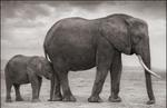 Nick Brandt: Elephant Mother with Baby at Leg, Amboseli, 2012