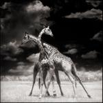 Nick Brandt: Two Giraffes Battling in Sun, Maasai Mara, 2006