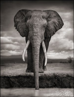 Nick Brandt: Elephant Drinking, Amboseli, 2007