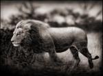 Nick Brandt: Windswept Lion, Serengeti, 2002