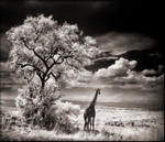 Nick Brandt: Giraffe Looking Over Plains, 2002