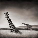 Nick Brandt: Sitting Giraffe, Aberdares, 2000