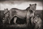 Nick Brandt: Lion Family Portrait, Maasai Mara, 2004