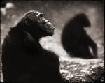 Nick Brandt: Chimpanzee Monks, Mahale, 2003
