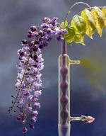 Photo Objects & Small Prints: Jo Whaley, Wisteria, 2012