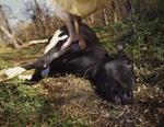 Tom Chambers: Yellow Dress and Cow